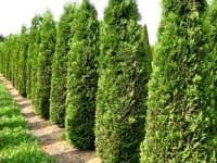 Säulen-Lebensbaum • Thuja occidentalis Columna