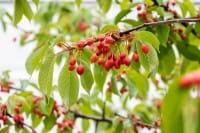 Vogelkirsche • Prunus avium