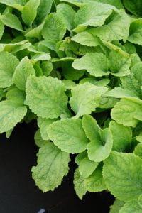 Garten Fingerhut Alba • Digitalis purpurea Alba