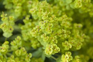 Steppen-Wolfsmilch • Euphorbia seguieriana niciciana