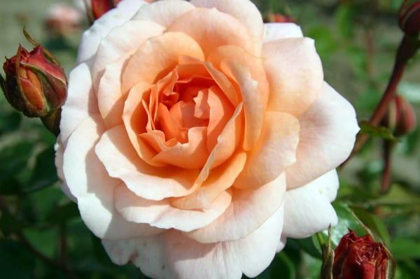 Rose Schloss Eutin ® • Rosa Schloss Eutin ®