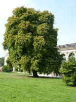 Baum-Hasel • Corylus colurna