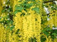 Edel-Goldregen • Laburnum watereri Vossii