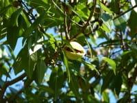 Mandel Dürkheimer Krachmandel • Prunus amygdalus Dürkheimer Krachmandel
