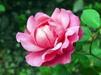 Beetrose Play Rose • Rosa Play Rose