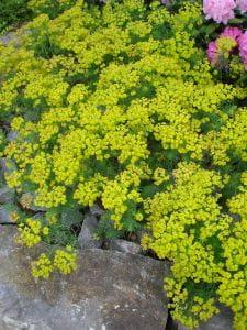 Garten Zypressen Wolfsmilch • Euphorbia cyparissias Fens Ruby