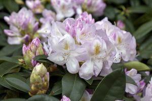 Rhododendron Gomer Waterer • Rhododendron Hybride Gomer Waterer