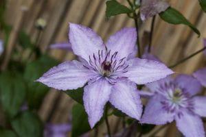 Waldrebe Hagley Hybrid • Clematis Hybriden Hagley Hybrid