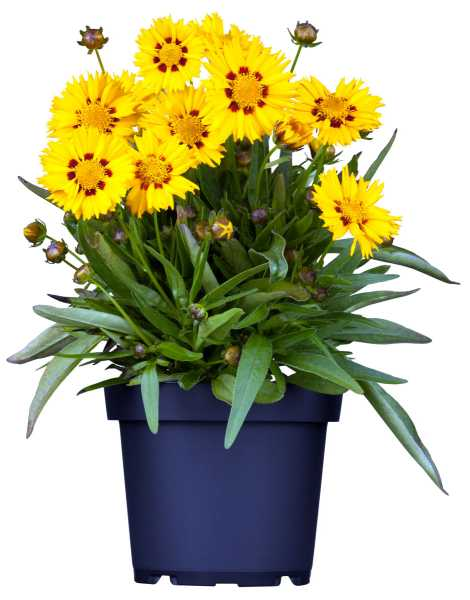 Großblumiges Garten-Mädchenauge • Coreopsis grandiflora Sunfire