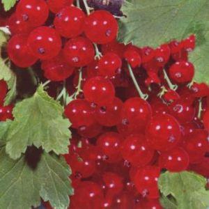 Rote Johannisbeere Red Lake • Ribes rubrum Red Lake