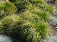 Berg-Segge • Carex montana