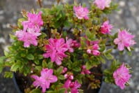 Japanische Azalee Maiogi • Rhododendron Maiogi