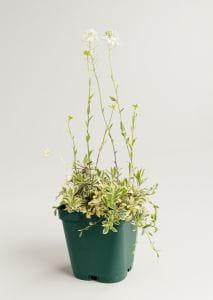 Garten Gänsekresse - Arabis ferdinandi-coburgi Variegata