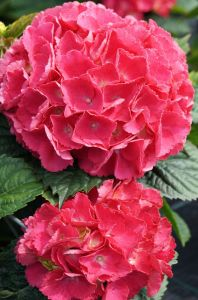 Bauernhortensie Red Baron • Hydrangea macrophylla Red Baron