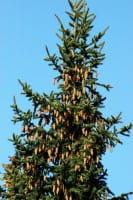 Blaufichte • Picea pungens Glauca