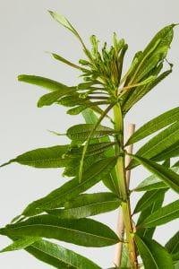 Drachenweide Sekka • Salix sachalinensis Sekka