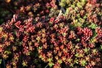 Garten-Rotmoos-Mauerpfeffer Coral Carpet • Sedum album Coral Carpet