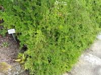 Kissenmispel • Cotoneaster adpressus