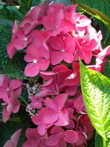 Bauernhortensie Kardinal • Hydrangea macrophylla Kardinal