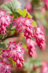 Blutjohannis-beere • Ribes sanguineum Atrorubens