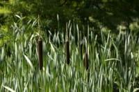 Rohrkolben • Typha angustifolia