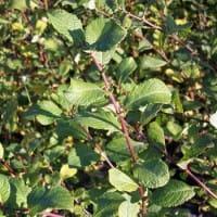 Ohrweide • Salix aurita
