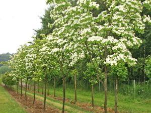Japanischer Blumen-Hartriegel • Cornus kousa