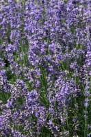 Lavendel Siesta • Lavandula angustifolia Siesta