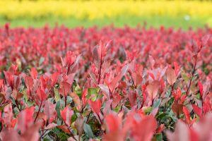 Glanzmispel Little Red Robin • Photinia fraseri Little Red Robin