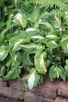 Schneefeder-Garten-Funkie • Hosta undulata Univittata