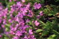 Garten-Ausläufer-Flammenblume Home Fires • Phlox stolonifera Home Fires