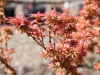 Fächerahorn Kotohime • Acer palmatum Kotohime