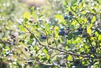 Heidelbeere / Blaubeere • Vaccinium corymbosum