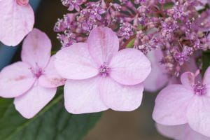 Kleinwüchsige Gartenhortensie Koreana • Hydrangea serrata Koreana