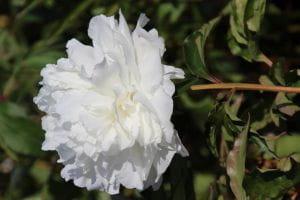 Pfingstrose Shirley Temple • Paeonia lactiflora Shirley Temple