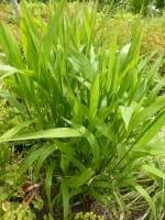 Plattährengras • Chasmanthium latifolium