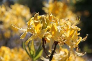 Rhododendron luteum • Rhododendron luteum