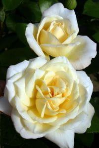 Rose La Perla • Rosa La Perla