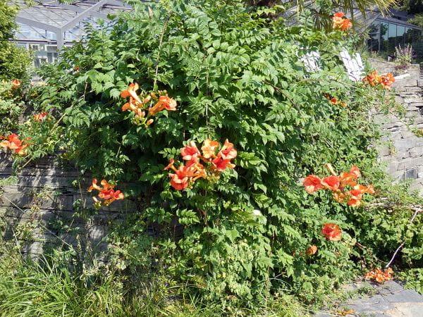 Trompetenblume • Campsis radicans