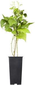Himbeere Twotimer • Rubus idaeus Twotimer