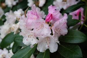 Rhododendron Silberwolke • Rhododendron yakushimanum Silberwolke