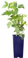 Himmbeere Heritage • Rubus idaeus Heritage