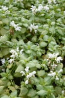 Gefleckte Taubnessel White Nancy • Lamium maculatum White Nancy