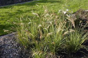 Föhngras, Ränkegras • Stipa calamagrostis Algäu
