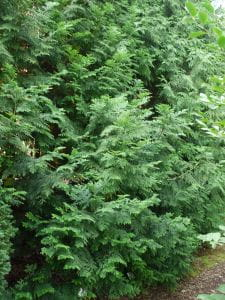 Hiba-Lebensbaum • Thujopsis dolabrata