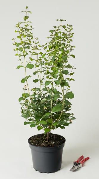 Schneebeere White Hedge • Symphoricarpos doorenbosii White Hedge