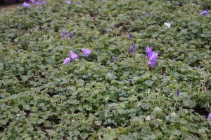 Garten Polster Glockenblume • Campanula portenschlagiana Birch Hybrid