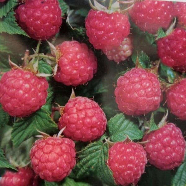 Himbeere Himbostar® • Rubus idaeus Himbostar