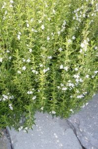 Berg - Bohnenkraut • Satureja montana ssp. Montana