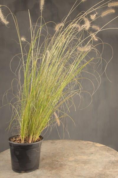 Niedriges Lampenputzergras • Pennisetum alopecuroides Hameln